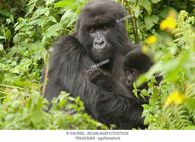 Africa, Rwanda, Virunga Volcanoes NP, Mountain gorilla (Gorilla gorilla beringei) Mother and baby