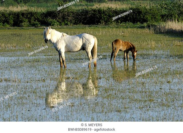horses in Camargue, France, Camargue
