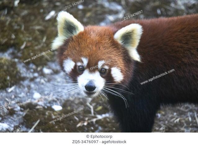 Red panda, Ailurus fulgens, Sikkim, India