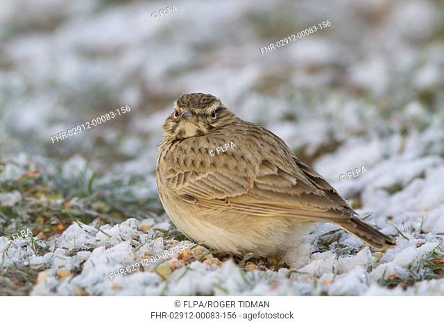 Crested Lark (Galerida cristata) adult, standing in snow, Spain, January