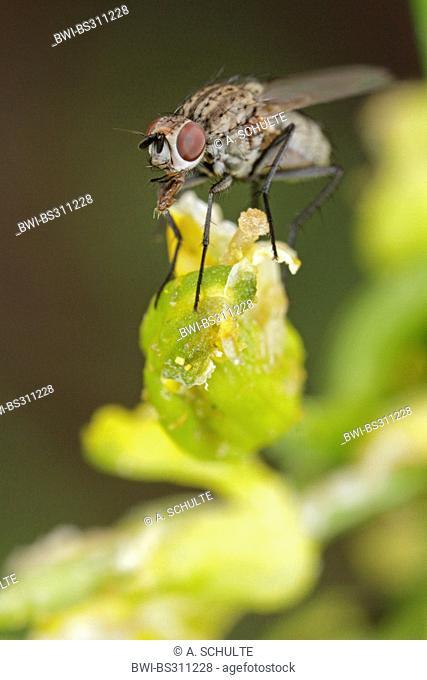 houseflies, house flies (Muscidae), probably Phaonia angelicae, Germany, Bavaria
