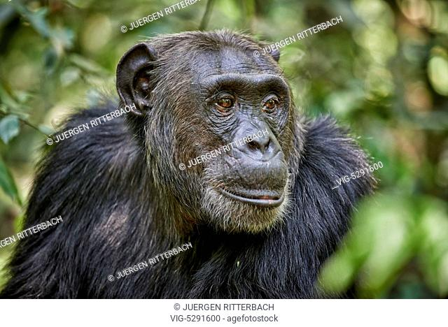 UGANDA, FORT PORTAL, 12.02.2015, Common chimpanzee, Pan troglodytes, Kibale National Park, Fortl Portal, Uganda, Africa - Fort Portal, Uganda, 12/02/2015