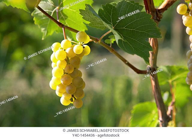 Grapes in vineyards in the Finger Lakes region of New York State in September 2006