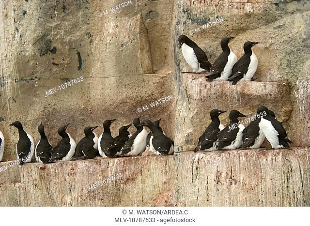 Brunnich's Guillemot / Thick-billed Murre - colony roosting on cliff ledge (Uria lomvia)