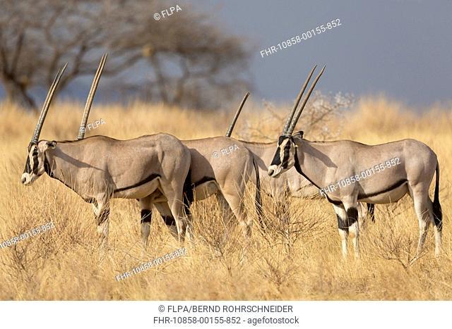 Beisa Oryx (Oryx beisa) four adults, standing in dry savannah, Samburu National Reserve, Kenya, August