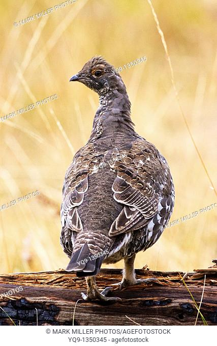 Blue Grouse  Dendragapus obscurus in Yellowstone National Park USA