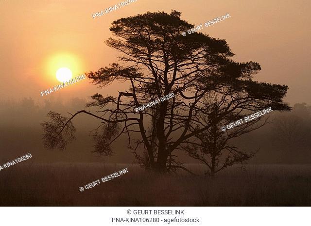 Scots Pine Pinus sylvestris - Kootwijkerveen, Kootwijk, Veluwe, Guelders, The Netherlands, Holland, Europe
