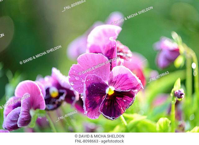 Pansy blossoms (Viola wittrockiana), close-up