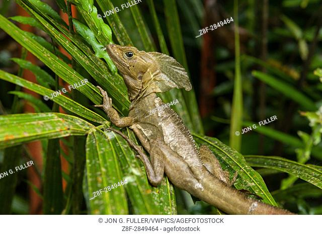 The Common Basilisk, Brown Basilisk or Striped Basilisk, Basiliscus vittatus, in Costa Rica can run on water or stay submerged underwater for more than 30...