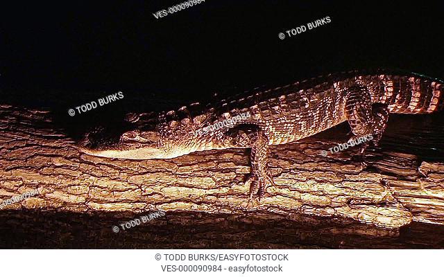 Alligator crawling on log in water