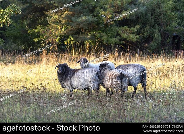 20 September 2020, Saxony-Anhalt, Loburg: Sheep stand on a meadow on the Storchenhof Loburg. Photo: Stephan Schulz/dpa-Zentralbild/ZB