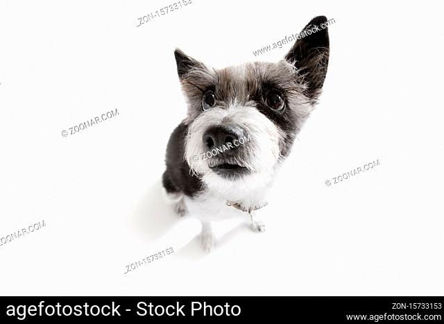 curious poodle dog looking up to owner waiting or sitting patient to play or go for a walk, isolated on white background