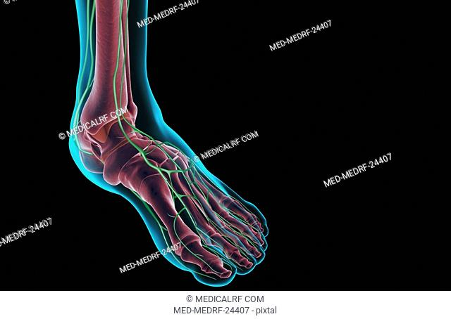 The lymph supply of the foot