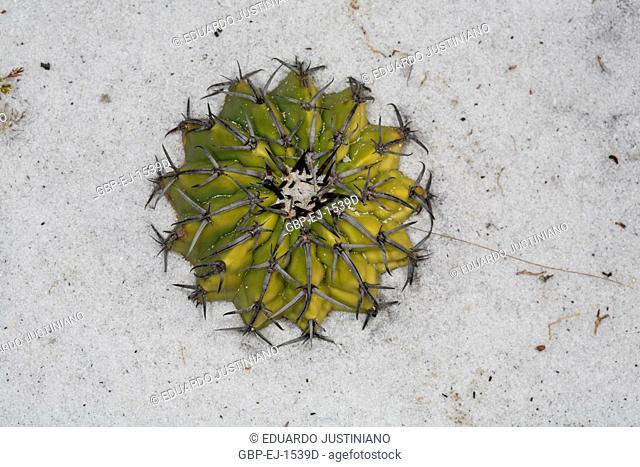 Cactus corôa-of-friar, (Discocactus sp.), Cactaceae, Rio Preto State Park, São Gonçalo do Rio Preto, Minas Gerais, Brazil