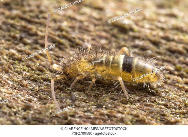 A Slender Springtail (Orchesella cincta) explores the surface of a damp dead tree