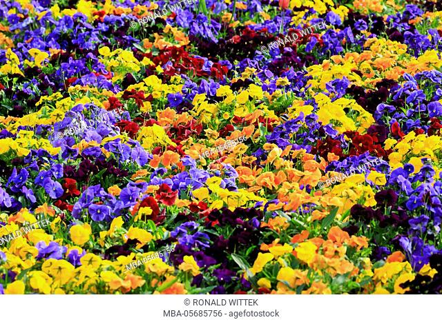 Germany, Baden-Wurttemberg, Mannheim, Luisenpark, blossomsing pansies