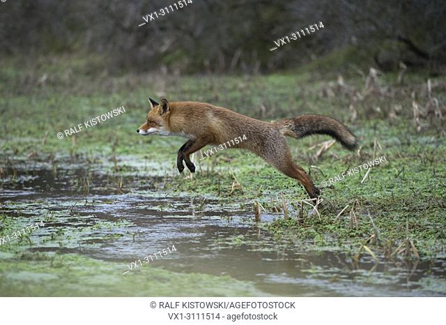 Red Fox / Rotfuchs ( Vulpes vulpes ), active adult in nice winter fur, jumping over a little creek in a swamp