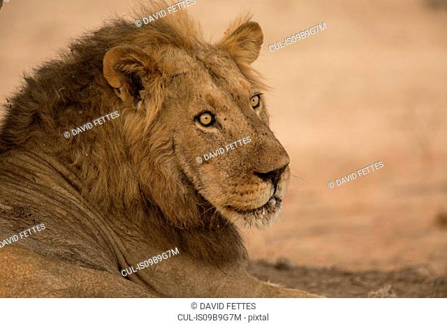 Portrait of Lion (Panthera leo) lying down and looking over his shoulder, Chirundu, Zimbabwe, Africa