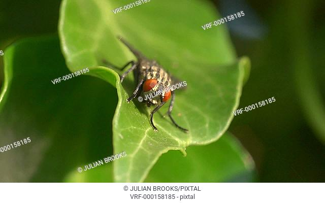 extreme close up of fly on ivy leaf - 2