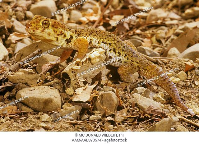 Tibetan Frog-eyed Gecko (Teratoscincus roborowskii)