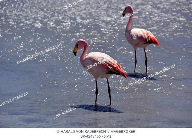 Laguna Hedionda with James's Flamingos (Phoenicoparrus jamesi), in Uyuni, Lipez, Bolivia