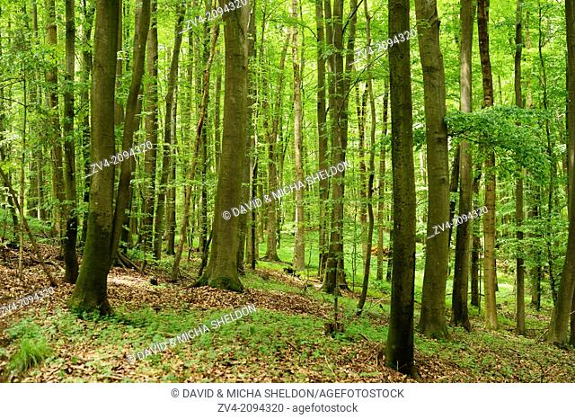 Landscape of a beech forest in spring, Oberpfalz, Germany