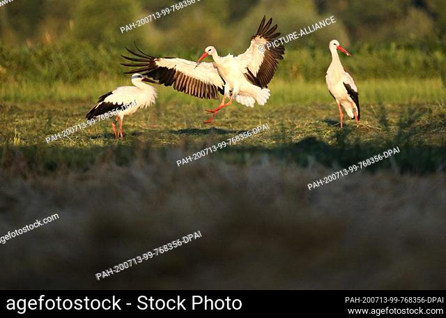 13 July 2020, Baden-Wuerttemberg, Unlingen: Storks meet in the morning shortly after sunrise in a nature reserve on a meadow