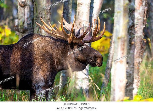 Close up of a bull moose in rut, Kincaid Park, Anchorage, Alaska, autumn