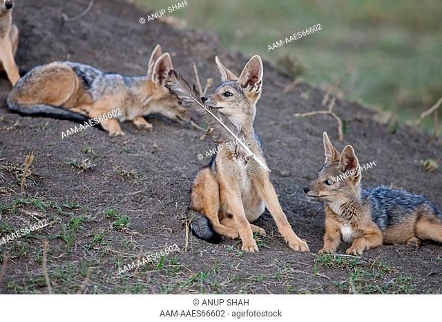 Black-backed Jackal pups 6-9 months old playing with a vulture feather (Canis mesomelas). Maasai Mara National Reserve, Kenya. August 2009
