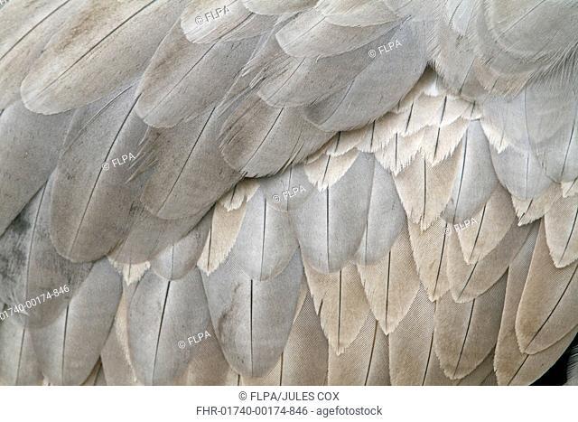 Common Crane Grus grus adult, close-up of feathers, Hornborgasjon, Sweden, march
