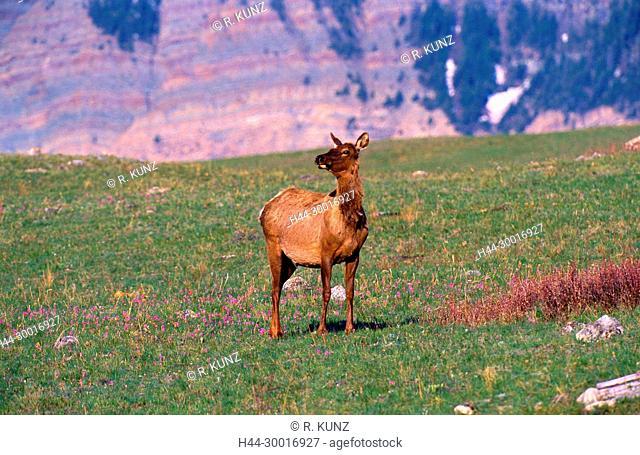 Elk, Cervus elaphus, Cervidae, doe, mammal, animal, Waterton Lakes National Park, Alberta, Canada