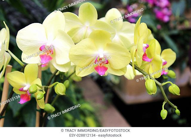 A cluster of blooming yellow Phalaenopsis orchids