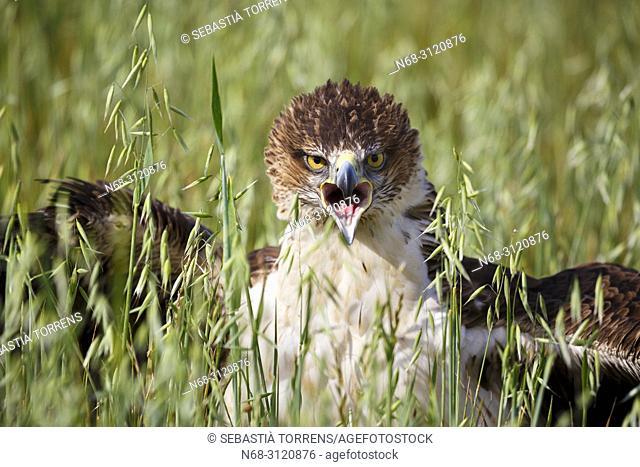 Bonelli's eagle (Aquila fasciata), Majorca, Balearic Islands, Spain