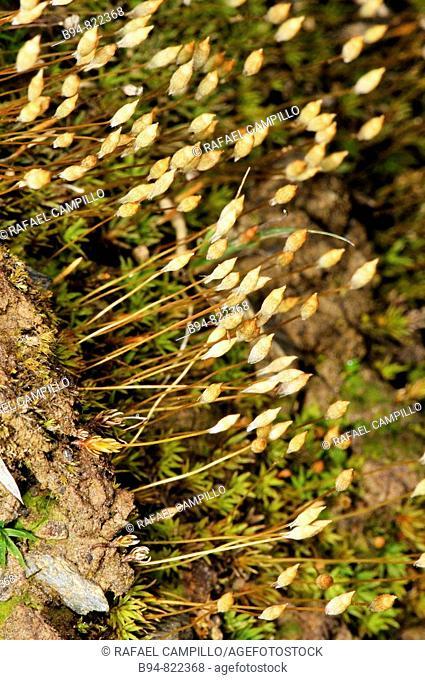 Moss, sporophytes. Osseja, Languedoc-Roussillon, Pyrenees Orientales, France