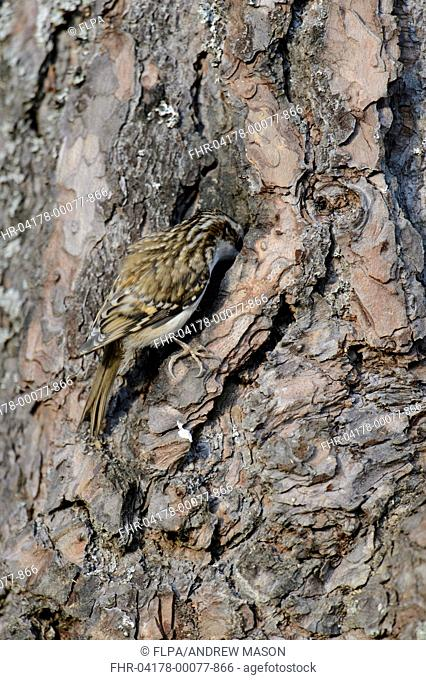 Common Treecreeper (Certhia familiaris) adult, feeding, clinging to Scots Pine (Pinus sylvestris) trunk, Abernethy Forest, Cairngorms N.P