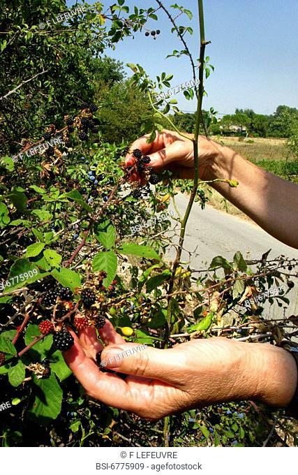 Picking of blackberries