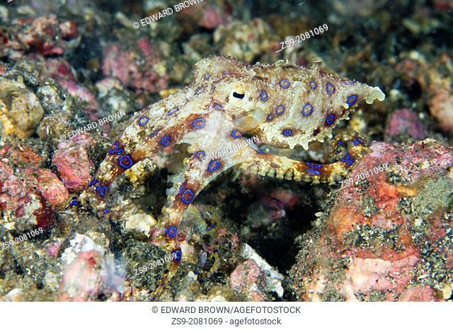 Blue ringed octopus - Hapalochlaena sp. Lembeh Strait, Sulawesi, Indonesia