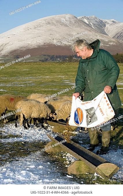 Farmer feeding ram lambs in troughs with concentrates from plastic feed bag. Keswick - Cumbria. (Photo by: Wayne Hutchinson/Farm Images/UIG)