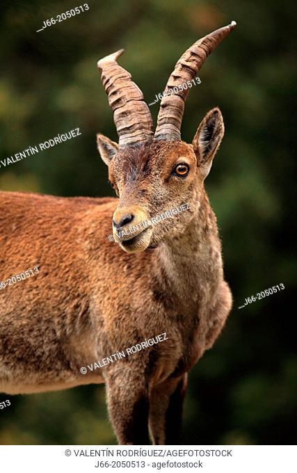 ibex (Capra pyrenaica), young male, in Els Ports, Tarragona