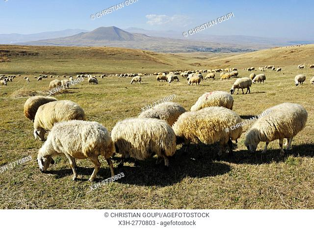 flock of sheep on the Argitchi plateau, Armaghan volcano in the background, Gegharkunik region, Armenia, Eurasia