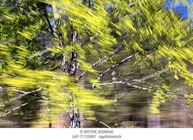 Moved deciduous tree, abstract, beech, Fagus sylvatica, spring, Bavaria, Germany, Europe