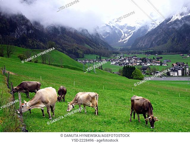 Engelberg - resort town in Obwalden canton, in front Swiss cows, in background valley between Urner Alps and buildings of Engelberg, Switzerland