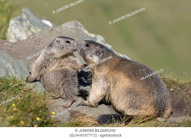 Alpine Marmot (Marmota marmota). Adult an young playing. High Tauern National Park, Austria