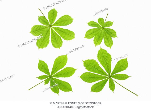 Horse chestnut Aesculus hippocastanum leaves, white background  Studio Shot