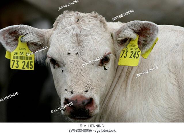 Charolais cattle, domestic cattle (Bos primigenius f. taurus), portrait of a calf, Germany