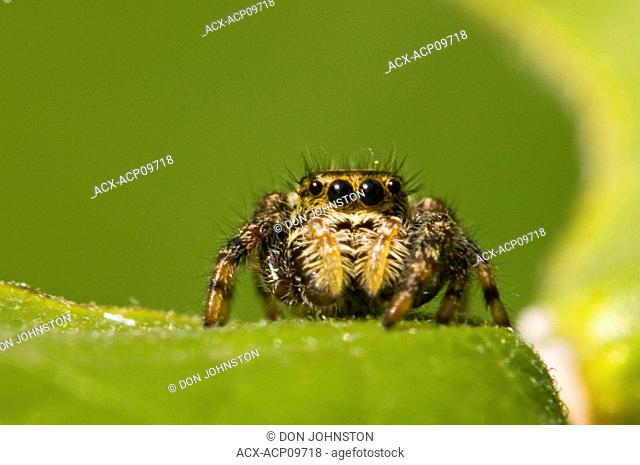 Jumping spiders have very good vision centered in their anterior median eyes AME. Their eyes are able to create a focused image on the retina