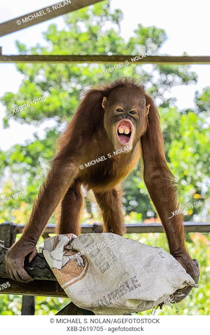 Young orangutan, Pongo pygmaeus, at the Orangutan Foundation Care Center, Camp Leakey, Borneo, Indonesia