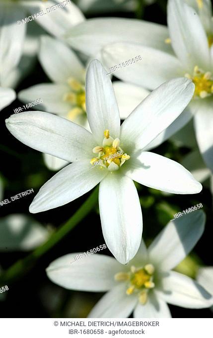 Star-of-Bethlehem or Grass Lily (Ornithogalum umbellatum)
