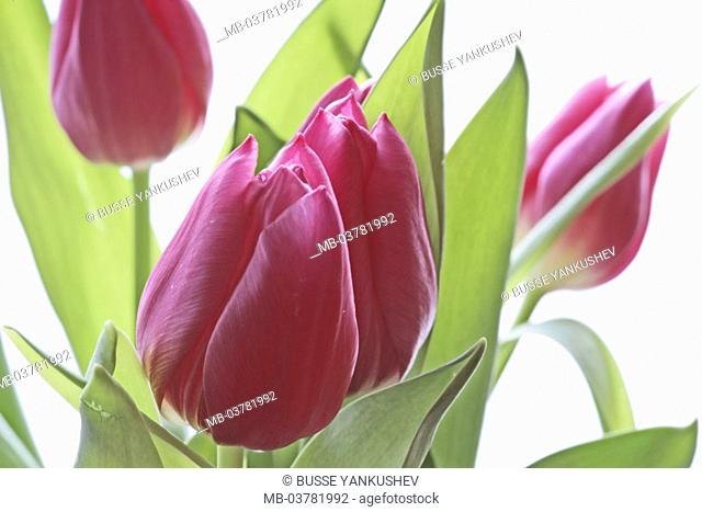 truncated tulips, detail, blooms, pink,   Petals are in store flowers, in the spring flowers, flower bouquet, bouquet, pink, closed, abandoned, green, concept