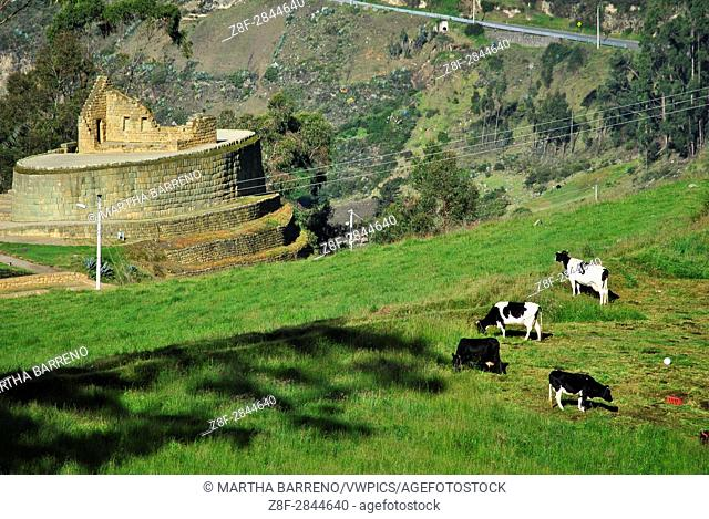 Cows and Temple of the Sun. Inca Ruin. El Tambo. Ingapirca. Ecuador